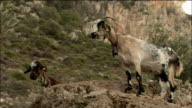 Goats chewing cud on rock, Spain