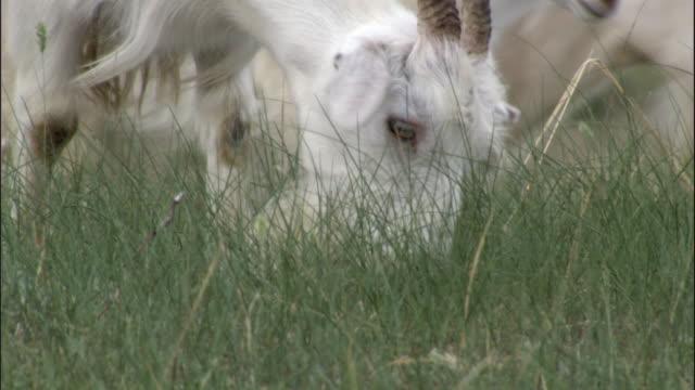 Goats eat grass, Hulun buir, China