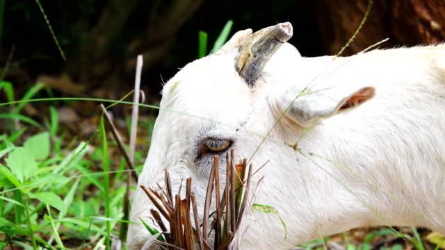 Ziegen gefüttert Rasen