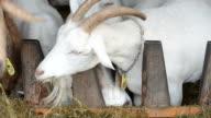 Goats feeding together