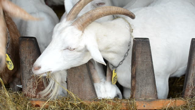 Goats feeding together
