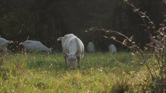 Ziegen weiden Essen grass