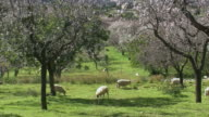 WS PAN Goats grazing on field next to blooming almond tress near Campanet / Majorca, Balearic Islands, Spain