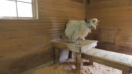 Goats standing on a table in a barn