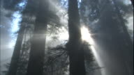 God rays shine through Redwood trees in a misty forest.