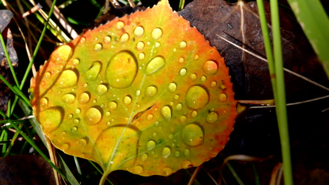Gold Aspen Leaf with real dew drops