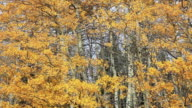 MS PAN Golden aspen trees gently lowing in the wind / East Glacier, Montana, United States
