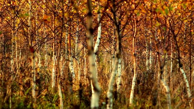 Golden autumn in birch forest