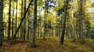 Goldener Herbst in den Buchenwald