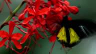 Golden birdwing butterfly feeding