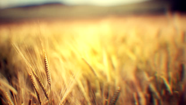 Golden crops in wind (loopable)