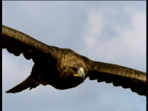 Golden eagle soars towards and past camera