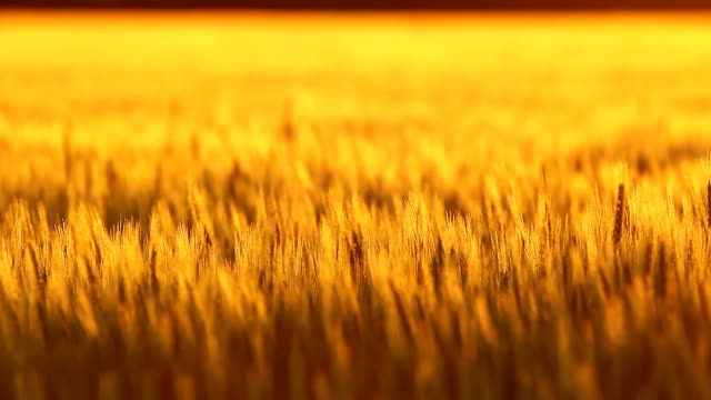 Golden Kansas Wheat Rack Focus