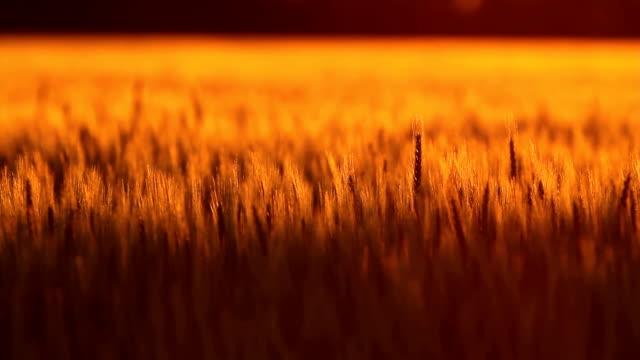 Golden Kansas Wheat
