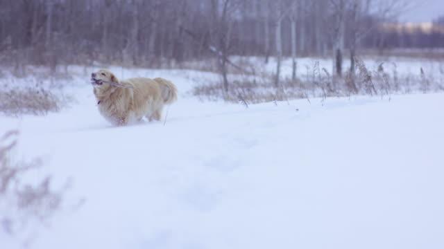Golden Labrador Finds a Stick