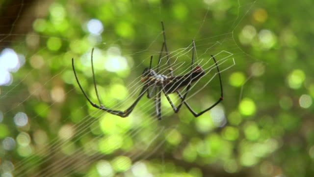 CU Golden orb spider making web / Sulawesi, Indonesia