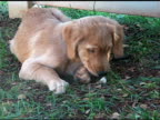 Golden Retreiver puppy chewing