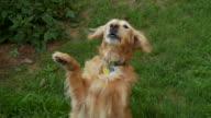 CU Golden retriever begging and barking / Atlanta, Georgia, USA