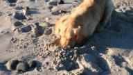 Golden retriever digging on the beach