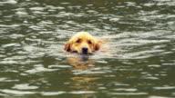 CU PAN Golden Retriever dog retrieving stick from lake, Manchester, Vermont, USA