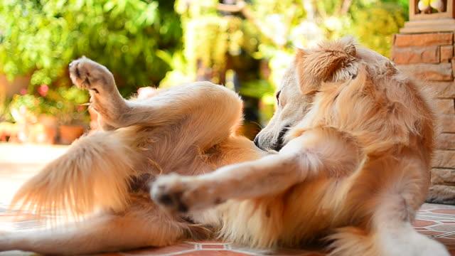 Golden Retriever cane graffiare il Pelle pruriginosa