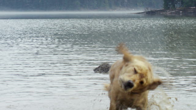 Golden Retriever Dog Shaking Herself Dry