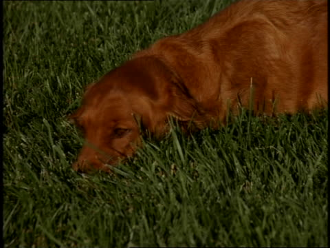 golden retriever laying in green grass, resting and panting