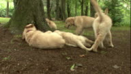 Golden retriever puppies play in a wooded park.