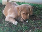 Golden Retriever puppy chewing