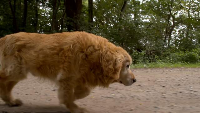 MS Golden Retriever Running On Dirt Road