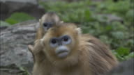 Golden snub nosed monkey baby leaps onto mother and pulls her fur, Foping, China
