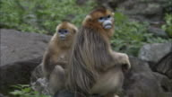Golden snub nosed monkey sit on rock then look around and bare teeth, Foping, China