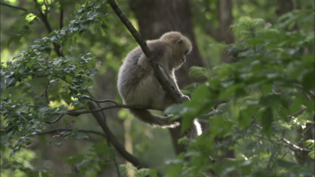Golden snub nosed monkey sits on branch, Foping, China
