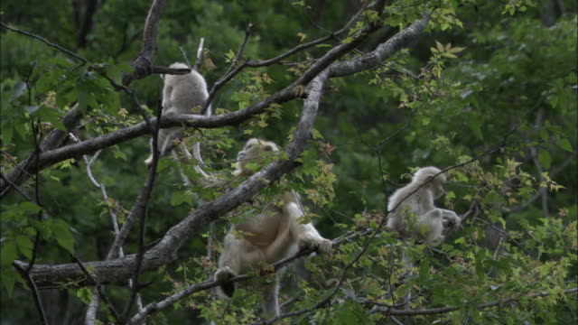 Golden snub nosed monkeys feed in tree, Foping, China