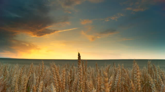 HD DOLLY: Golden Wheat At Sunset