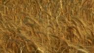 HD CRANE: Golden Wheat