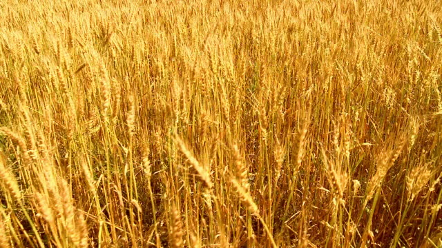 GRU HD: Di grano dorato