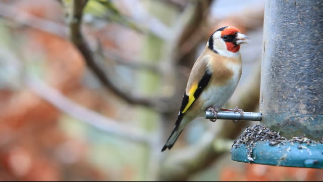 Goldfinch feeding on niger seed in a garden in Ambleside, Lake District, UK.