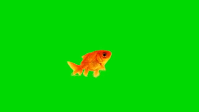 Goldfish against chroma green screen