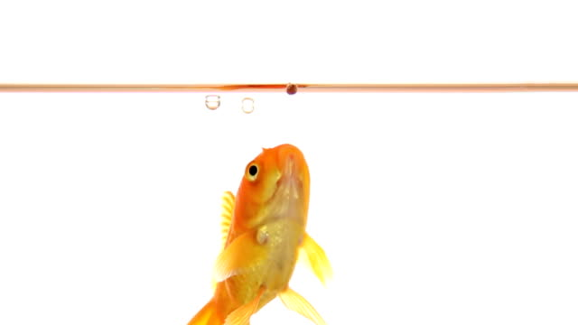 Goldfish catches food - slow motion