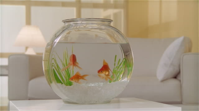 MS goldfish in bowl on table