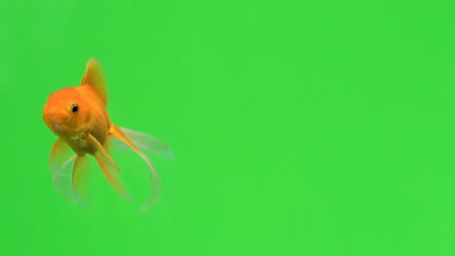 Goldfish on green screen