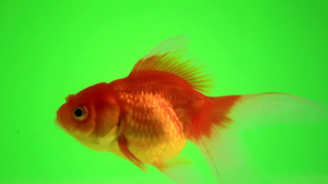Goldfish talk on green screen