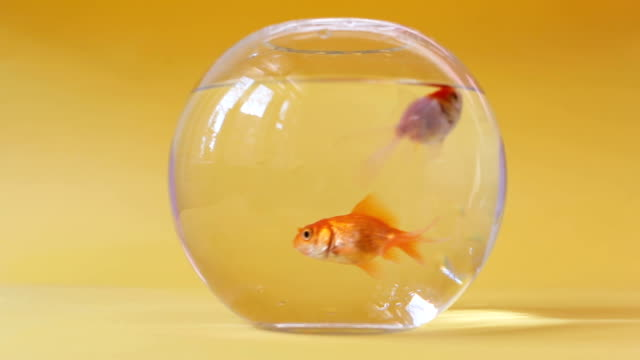 Goldfishes in fish bowl on yellow pastel background
