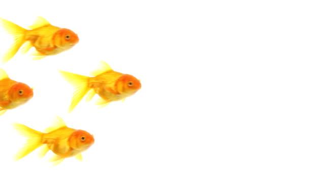 Golgfishes swim