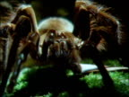 Goliath bird eating spider crawls to camera, Brazil