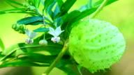 Gomphocarpus Physocarpus Frucht und Blume detail