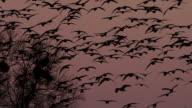 Goose at dusk