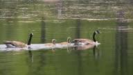 Goose family, gosling, goslings, geese.