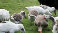 goose farm in the grass